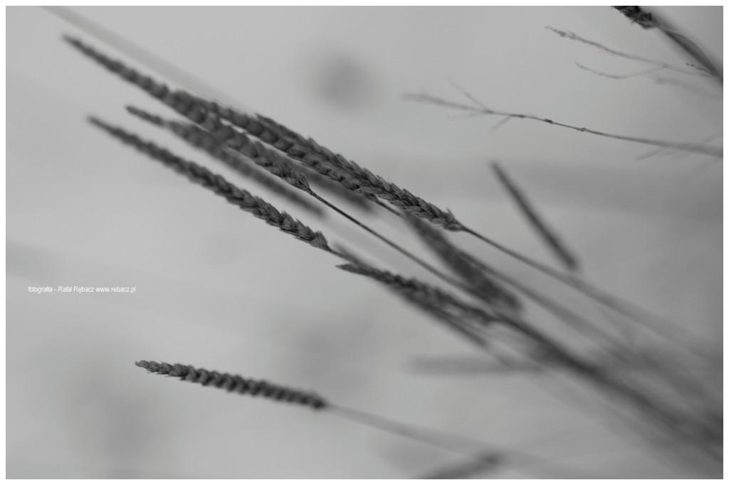 Trawy w zimie (C) Rafał Rębacz